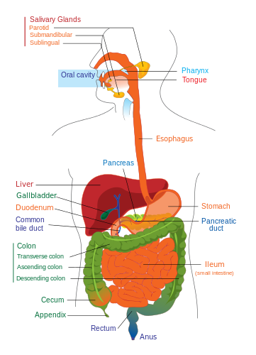 Human Gastrointestinal Tract Urdu Meaning Of Human Gastrointestinal Tract