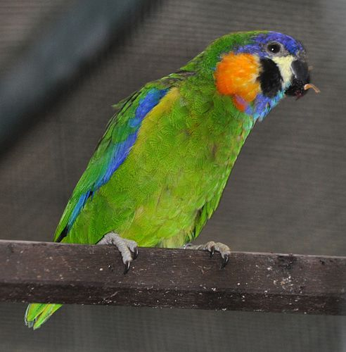 Meaning of Orange Breasted Fig Parrot - English-Urdu Dictionary