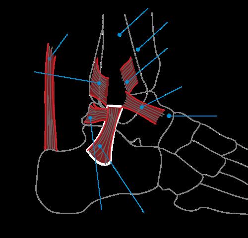 Ankle hindi meaning of ankle ankle hindi meaning ccuart Choice Image