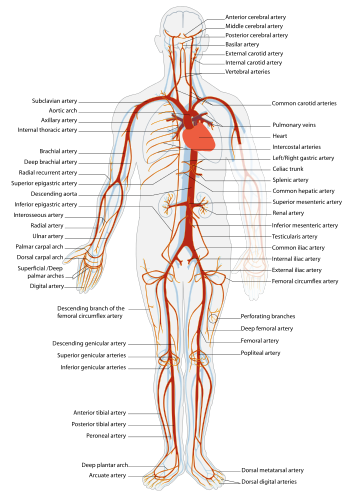 Artery Definition And More For Artery