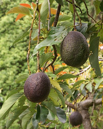 Avocado | Urdu Meaning of Avocado
