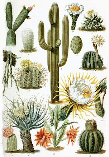 Cactus gujarati meaning of cactus cactus gujarati meaning stopboris Image collections
