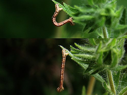 Caterpillar | Urdu Meaning of Caterpillar