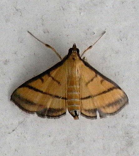 cnaphalocrocis