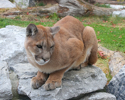 Cougar meaning in tamil