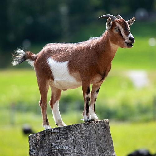 Goat | Arabic Language Meaning of Goat