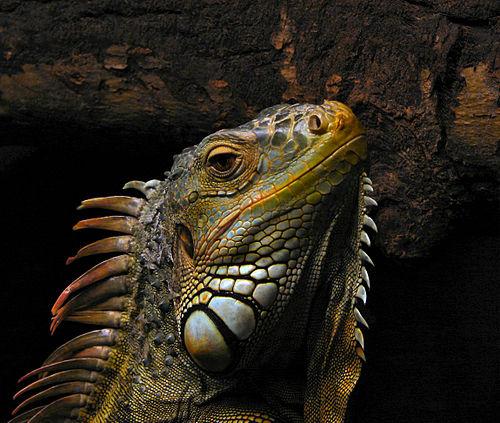 Iguana | Tamil Meaning of Iguana