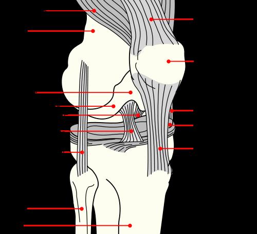 Ligament | Urdu Meaning of Ligament