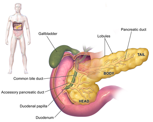 meaning of pancreas in urdu - لبلبہ / lablaba meanings - urdu, Human Body