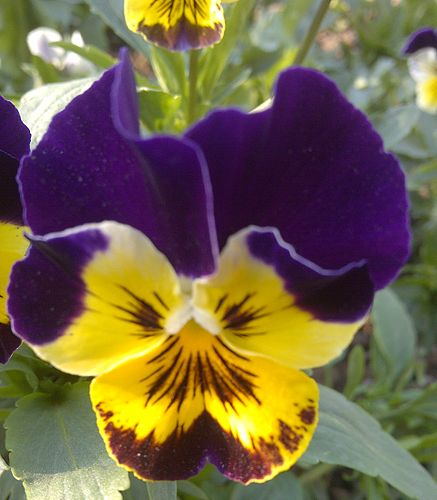 Pansy Japanese Meaning Of Pansy