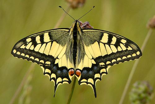 Papilio | Urdu Meaning of Papilio