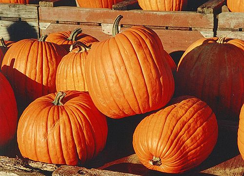 Pumpkin gujarati meaning of pumpkin pumpkin gujarati meaning stopboris Image collections