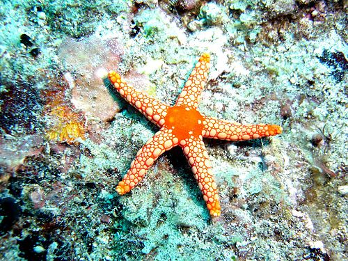 Starfish Malay Meaning Of Starfish