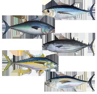 Tuna   Sinhala Meaning of Tuna