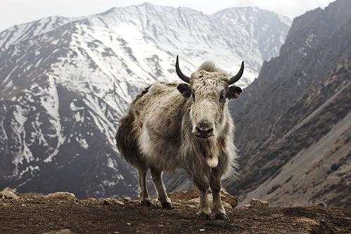Yak gujarati meaning of yak yak gujarati meaning stopboris Image collections